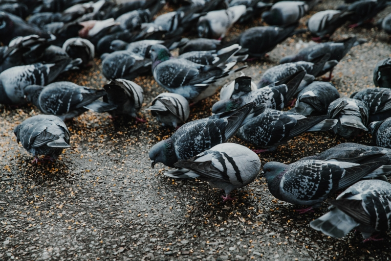 Pigeon Control from Realty Pest Services Las Vegas