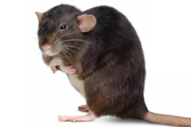 Realty Pest Services Las Vegas Gets Rid of Rats and Rodents